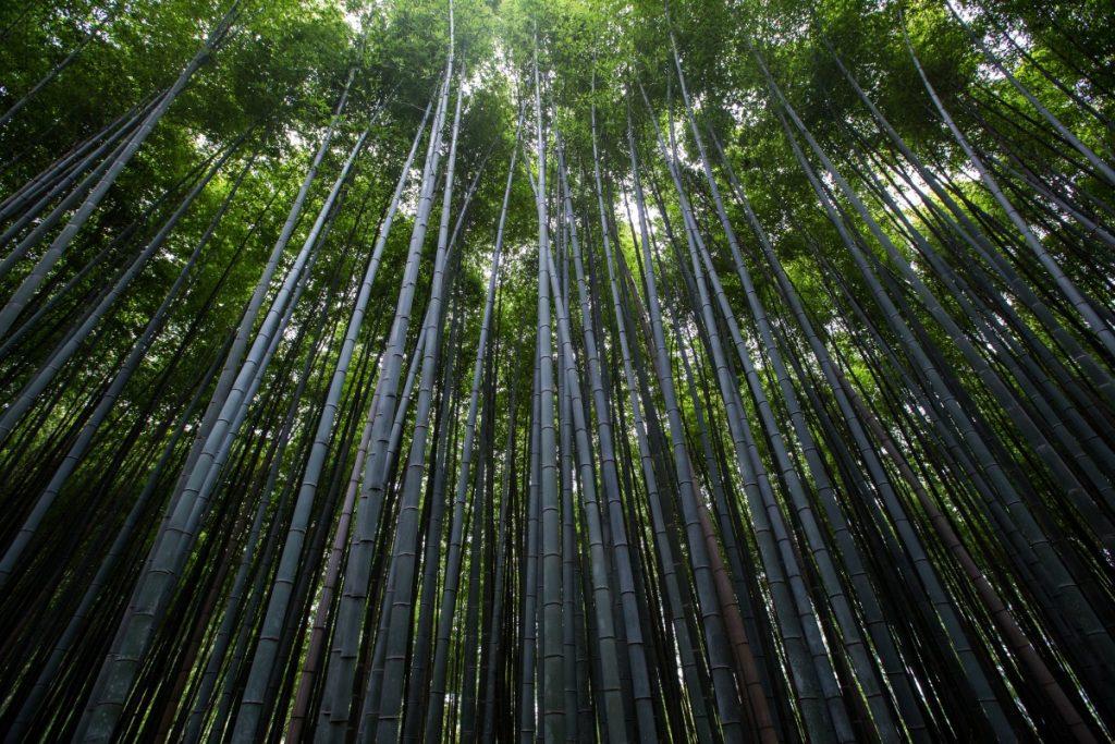 bamboo_forest_tree_landscape_vegetation-7726